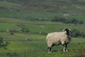 Image Ref: 9908-06-18 - Swaledale Sheep, Viewed 4585 times