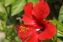 Red Hibiscus, Jardin Maria Serena, Menton has been viewed 6075 times