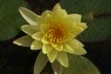 Yellow Water Lily, Jardin Maria Serena, Menton has been viewed 5483 times