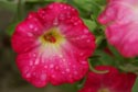 Image Ref: 9908-08-2872 - Flower and raindrops, Viewed 9520 times