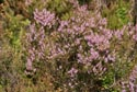 Image Ref: 9908-08-3801 - Moorland Heather, Viewed 3844 times