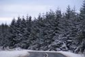 Pine trees in Winter has been viewed 27786 times