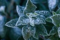 Frost covered leaf has been viewed 10766 times