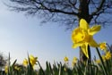 Image Ref: 9909-03-832 - Daffodil, Viewed 3969 times