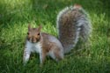Grey Squirrel has been viewed 12362 times
