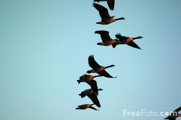Picture of Flock of Gesse in flight - Free Pictures - FreeFoto.com