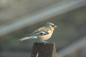 Image Ref: 01-01-45 - Chaffinch Male, Viewed 27913 times