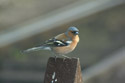 Image Ref: 01-01-46 - Chaffinch Male, Viewed 26145 times