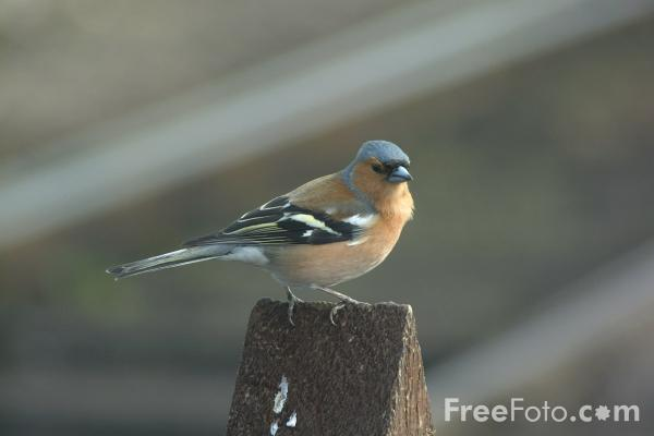 Picture of Chaffinch Male - Free Pictures - FreeFoto.com