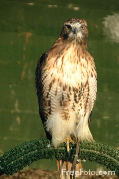 Common buzzard pairs are known