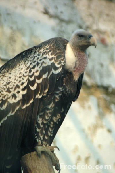 Picture of Vulture - Free Pictures - FreeFoto.com