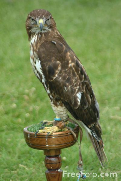 Picture of Little Sparrowhawk - Free Pictures - FreeFoto.com