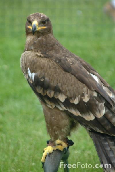 Picture of Tawny Eagle - Free Pictures - FreeFoto.com