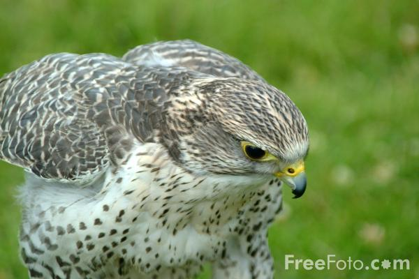 Picture of Saker Falcon - Free Pictures - FreeFoto.com
