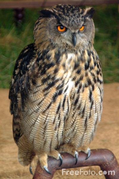 Picture of Eagle Owl - Free Pictures - FreeFoto.com