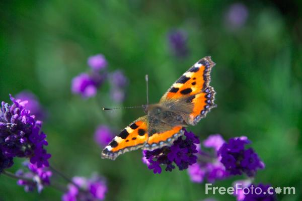Picture of Butterfly - Free Pictures - FreeFoto.com