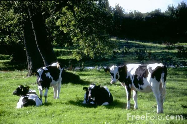 Picture of Cows - Free Pictures - FreeFoto.com