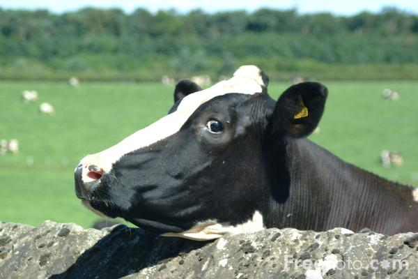 Picture of Cow - Free Pictures - FreeFoto.com
