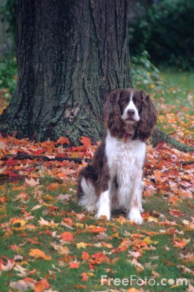 Picture of Dog - Springer Spaniel - Free Pictures - FreeFoto.com