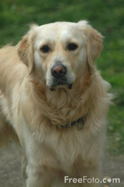 golden retriever dog pictures. Dog - Golden Retriever
