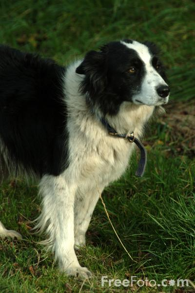picture of sheep dog   free