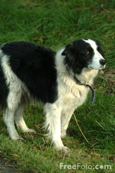 Picture of Sheep Dog - Free Pictures - FreeFoto.com