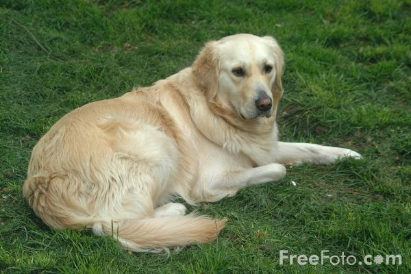 Picture of Dog - Golden Retriever - Free Pictures - FreeFoto.com
