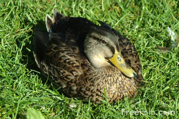 Picture of Ducklings - Free Pictures - FreeFoto.com