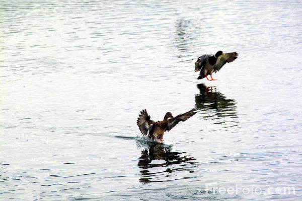 Picture of Flying Ducks - Free Pictures - FreeFoto.com