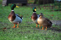 Image Ref: 01-08-34 - Ducks, Viewed 262823 times