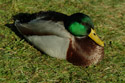 Image Ref: 01-08-40 - Duck, Viewed 18699 times