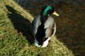 Image Ref: 01-08-41 - Duck, Viewed 17518 times