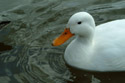Image Ref: 01-08-43 - Duck, Viewed 19074 times