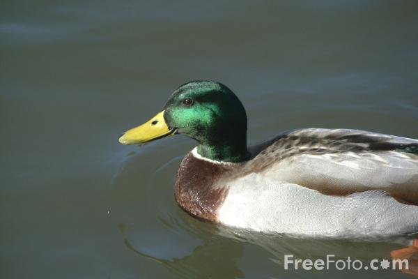 Picture of Duck - Free Pictures - FreeFoto.com