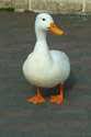 Image Ref: 01-08-52 - Duck, Viewed 1134316 times
