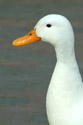 Image Ref: 01-08-53 - Duck, Viewed 16465 times