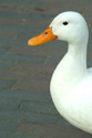 Image Ref: 01-08-55 - Duck, Viewed 15883 times