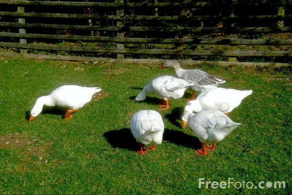 Picture of Geese - Free Pictures - FreeFoto.com