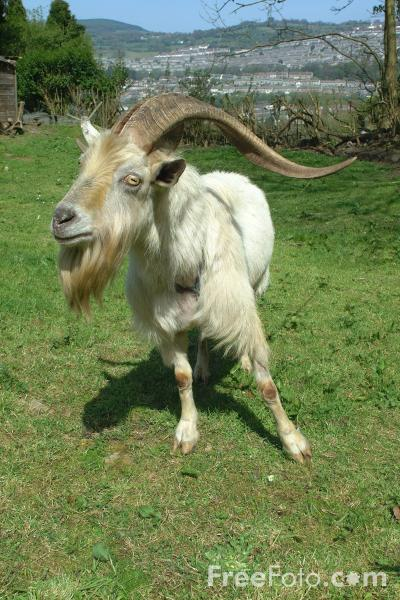 Picture of Goat - Free Pictures - FreeFoto.com