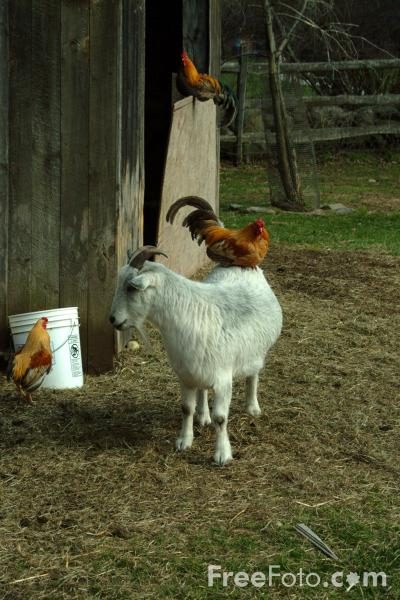 Picture of Goat with Chicken on its back - Free Pictures - FreeFoto.com