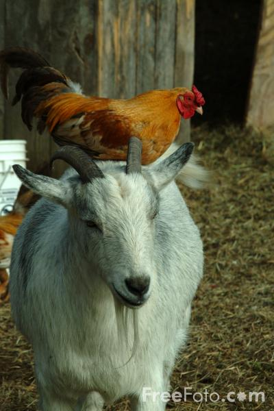 Goat With Chicken On Its Back Pictures Free Use Image 01