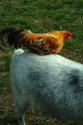 Image Ref: 01-10-68 - Goat with Chicken on its back, Viewed 12722 times