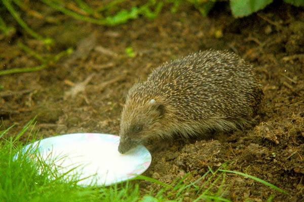 Picture of Hedgehog - Free Pictures - FreeFoto.com