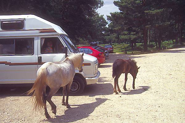 Picture of Horses - New Forest - Free Pictures - FreeFoto.com