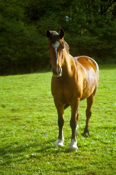 Picture of Horse - Free Pictures - FreeFoto.com
