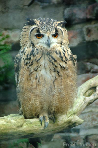 Picture of Owl - Free Pictures - FreeFoto.com