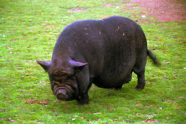 http://www.freefoto.com/images/01/14/01_14_1---Black-Pot-Bellied-Pig_web.jpg