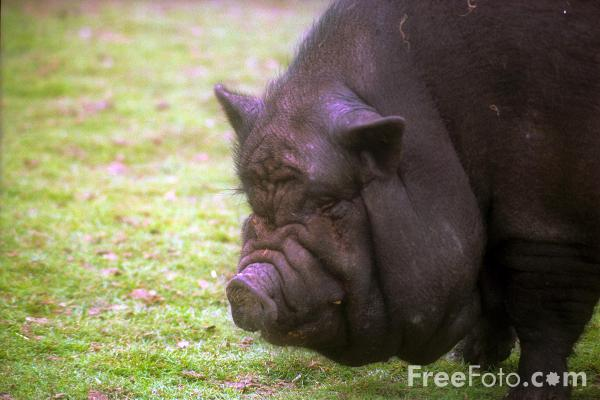 Picture of Black Pot Bellied Pig - Free Pictures - FreeFoto.com
