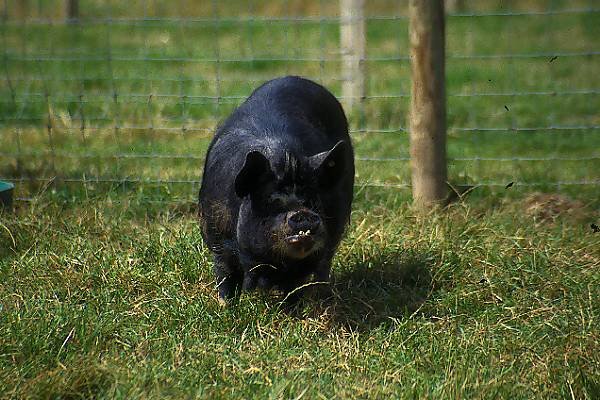 Picture of Pot Bellied Pig - Free Pictures - FreeFoto.com