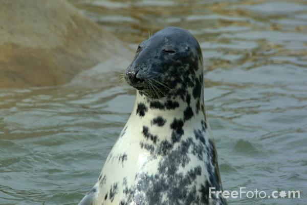 Picture of Seal - Free Pictures - FreeFoto.com